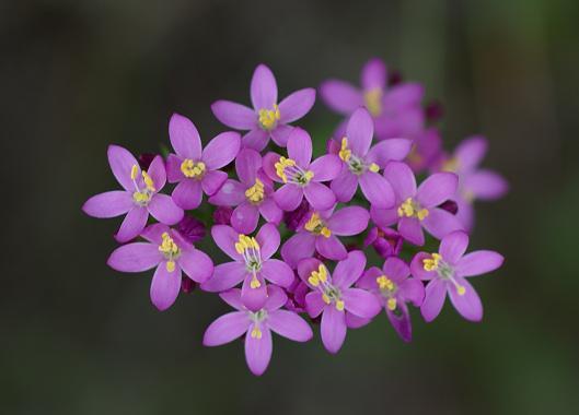 Propiedades de Centaurea Menor.  Foto: Jordi Badia