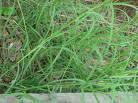 Propiedades de la grama