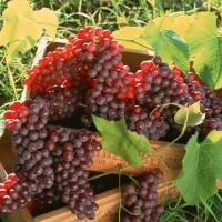 Las uvas, excelente antioxidante