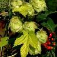 Propiedades de Lúpulo - Humulus lupulus