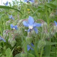 Plantas medicinales para dermatitis - Borraja