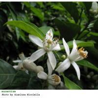 Plantas medicinales para dormir - Flor de azahar