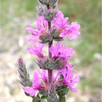 Plantas medicinales para el colon - Salicaria