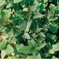 Plantas medicinales tónicas - Menta
