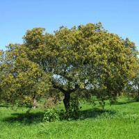 Plantas medicinales antídotos -  Encina
