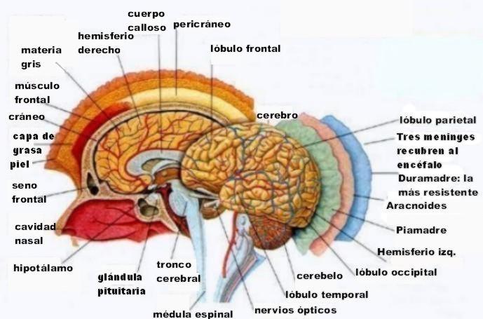 Hipófisis - Funciones | SaludBio