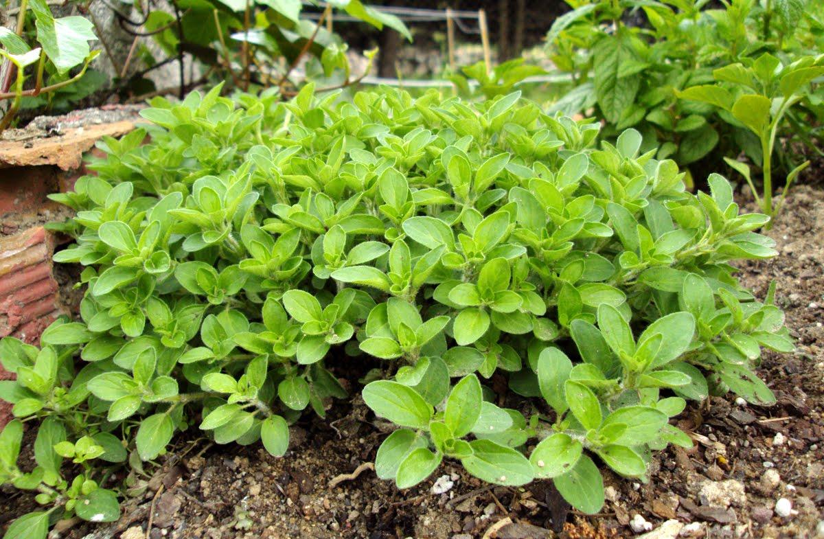 oregano planta analeptic nombre cientifico y maternity que sirve