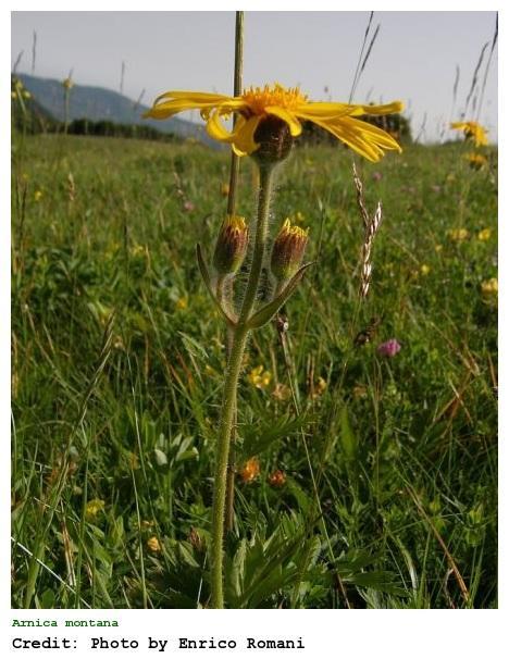 Plantas medicinales excitantes - Arnica