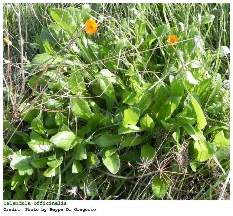 Plantas medicinales para heridas - Caléndula