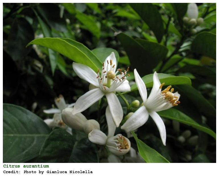 Plantas medicinales antiespasmódicas - Flor de azahar