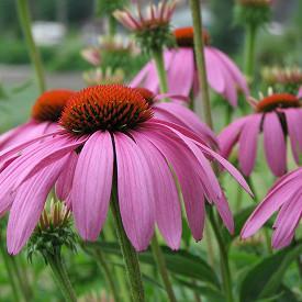 Plantas medicinales para el acné - Echinacea