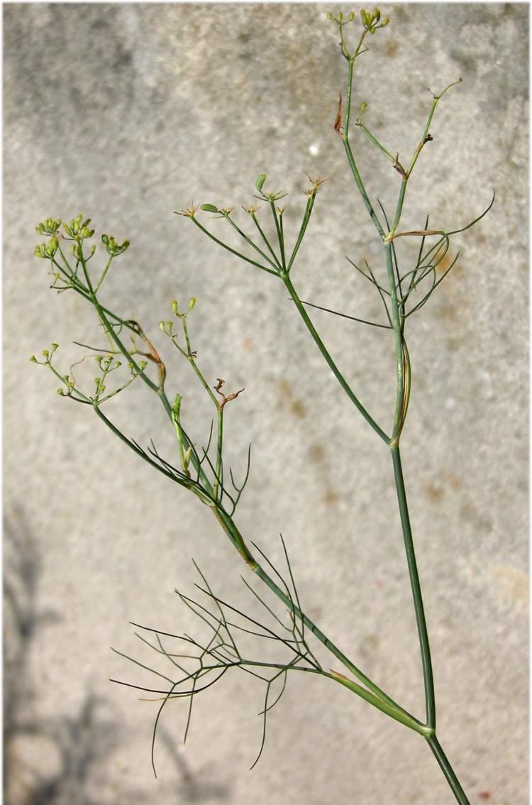 Plantas medicinales carminativas - Hinojo