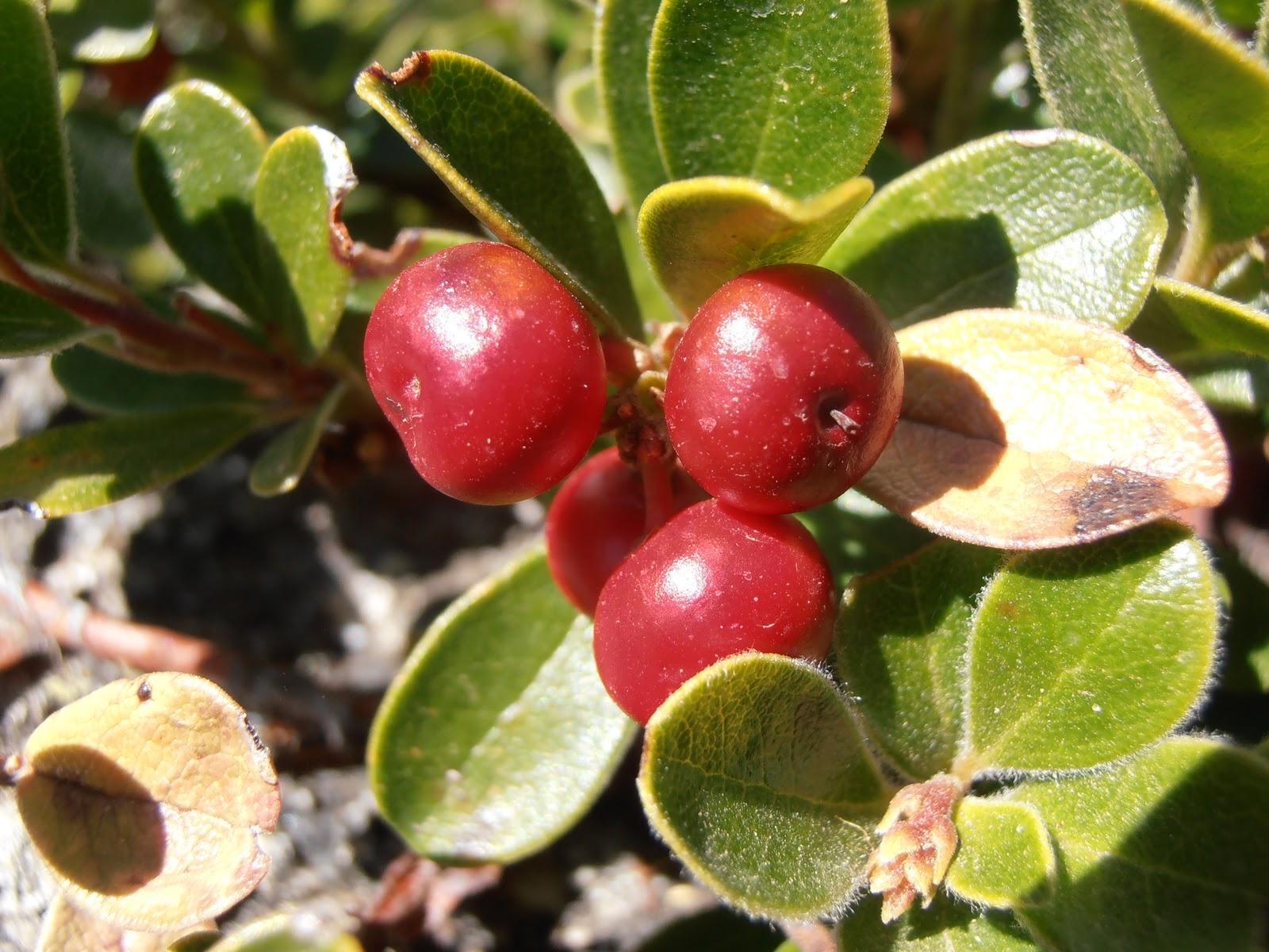 Plantas medicinales para cistitis - Gayuba