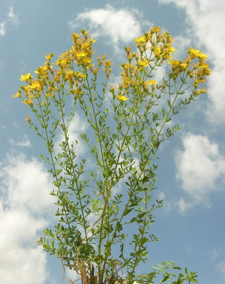 Plantas medicinales para la depresión. Hipérico