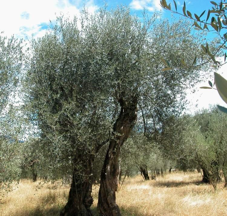 Plantas medicinales para la hipertensión - Olivo