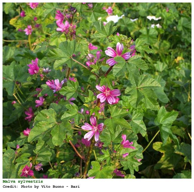 Plantas medicinales para la artritis