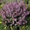 Plantas medicinales para herpes - Salvia