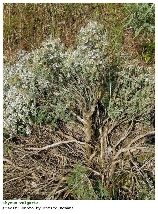 Plantas medicinales para la gripe y resfriado - Tomillo