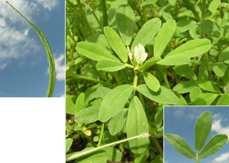 Plantas medicinales absorbentes