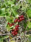 Plantas medicinales para la psoriasis - Zarzaparrilla