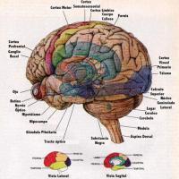 El cerebro y el infarto