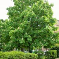 Plantas medicinales para las varices - Castaño de Indias