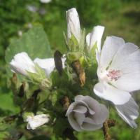 Plantas medicinales para laringitis - Malvavisco