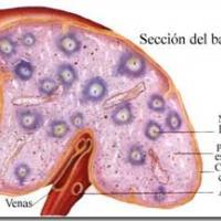 Medicina natural para el bazo