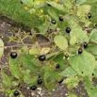 Plantas con alcaloides - Belladonna