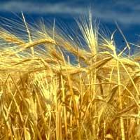 De los granos de cebada se fabrica la malta