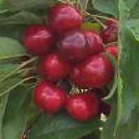 Propiedades de las colas de cereza