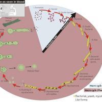 Ciclogenia bacteriana según Gaston Naessens