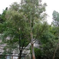 Plantas medicinales balsámicas - Eucalipto