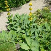 Plantas medicinales amargas - Genciana