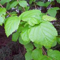 Plantas medicinales para combatir las hemorroides: Hamamelis
