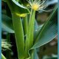 Propiedades de los estigmas del maíz