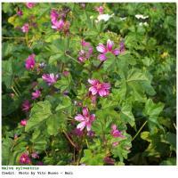 Plantas medicinales para el catarro - Malva