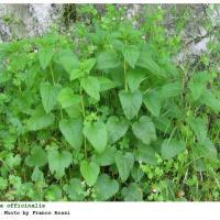 Plantas medicinales para la jaqueca - Melisa