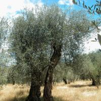 Propiedades del olivo
