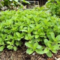 Plantas medicinales para sinusitis - Orégano