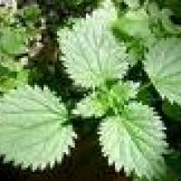 Plantas con flavonósidos