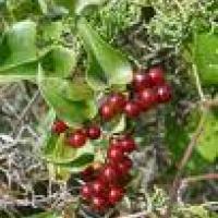 Plantas medicinales depurativas - Zarzaparrilla